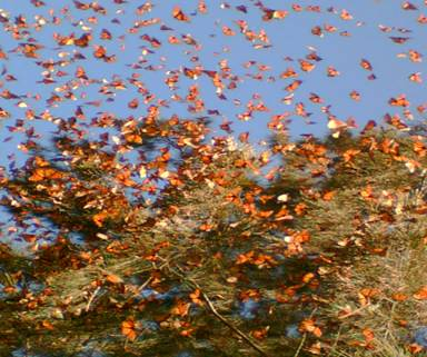 Monarch butterflies in their winter home in central Mexico