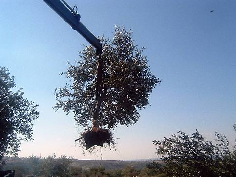 A need for more reality An Israeli bulldozer uproots an olive tree on the Palestinian West Bank