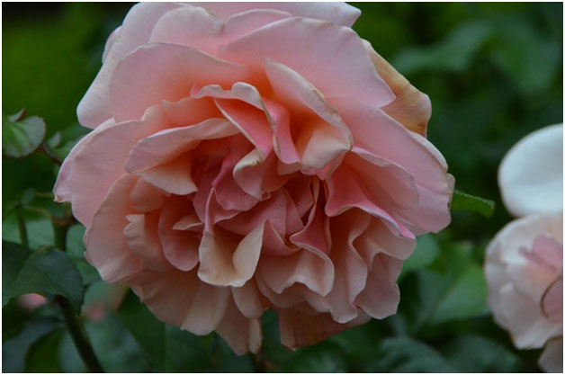 """A bloom in the Rose Test Garden of Portland, the """"City of the Roses."""""""